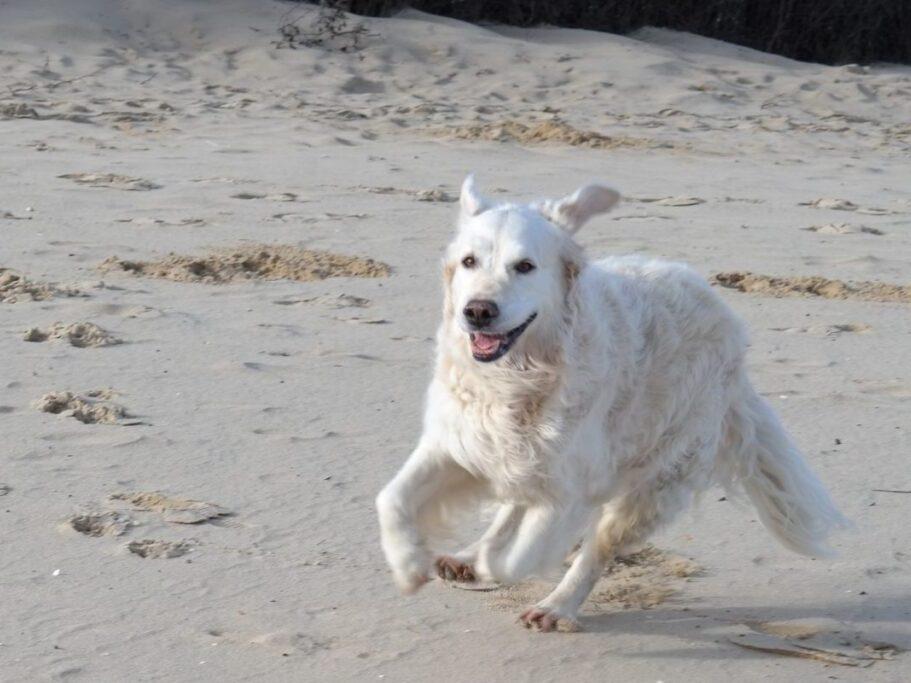 perro de raza pastor de maremma corriendo en la playa