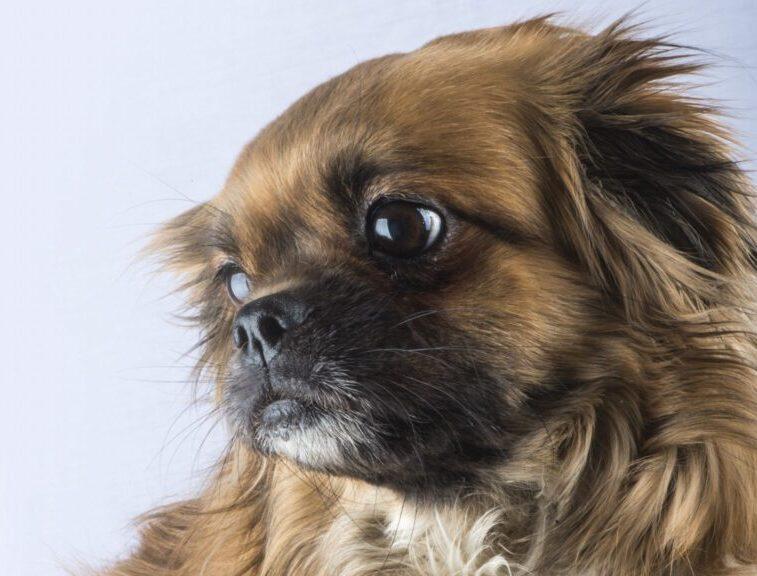 perro de raza spaniel tibetano