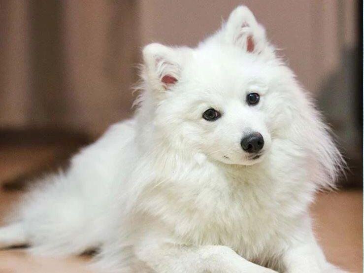 perro de raza volpino italiano