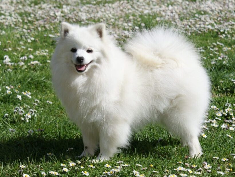 perro de raza volpino italiano en un campo con flores blanzas