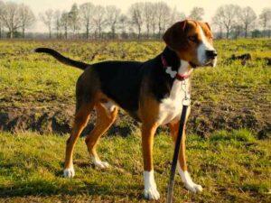 perro hamilton en el campo