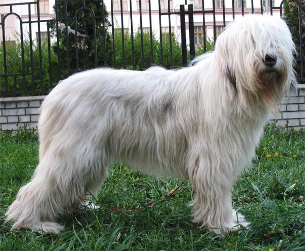 perro pastor del sur de rusia parado de costado