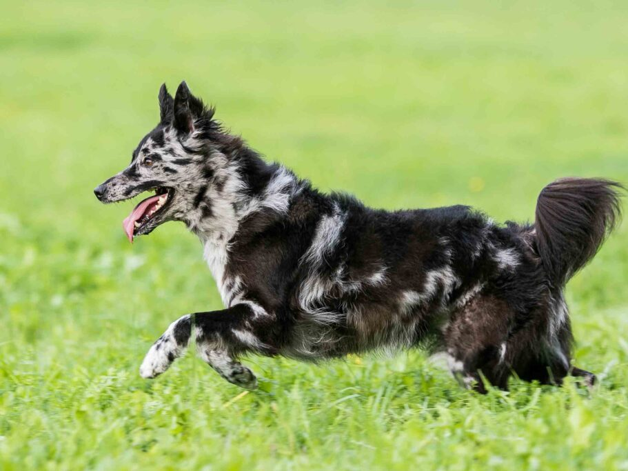 perro pastor húngaro mudi corriendo con la boca abierta en el campo