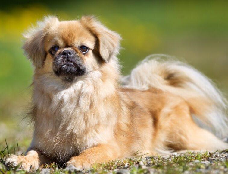 raza de perros spaniel del tibet acostado en el campo